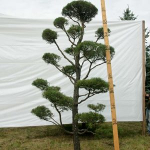 Scotch Pine Topiary Tree #56