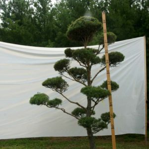 Scotch Pine Topiary Tree #57