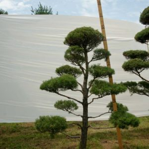 Scotch Pine Topiary Tree #59