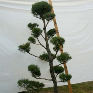 Scotch Pine Topiary Tree #60