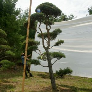 Scotch Pine Topiary Tree #61