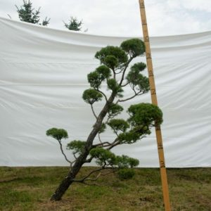 Scotch Pine Topiary Tree #66