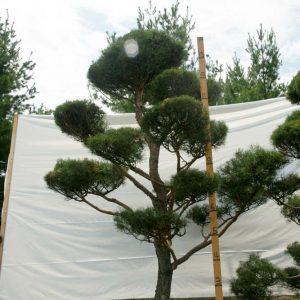 Scotch Pine Topiary Tree #67