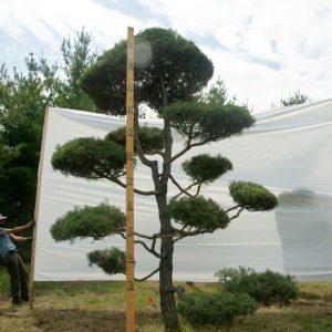 Scotch Pine Topiary Tree #69