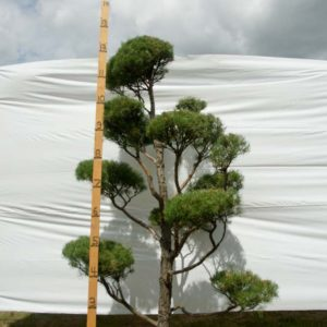 Scotch Pine Topiary Tree #70