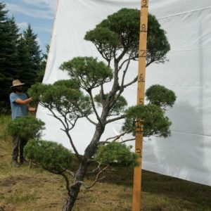 Scotch Pine Topiary Tree #71