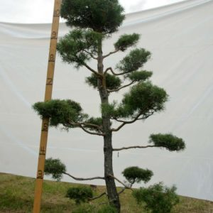 Scotch Pine Topiary Tree #75