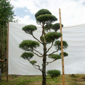 Scotch Pine Topiary Tree #78