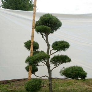 Scotch Pine Topiary Tree #79
