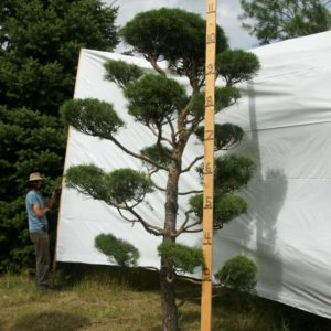 Scotch Pine Topiary Tree #80