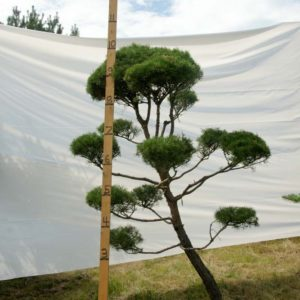 Scotch Pine Topiary Tree #81