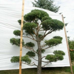 Scotch Pine Topiary Tree #84