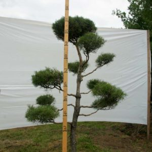 Scotch Pine Topiary Tree #86