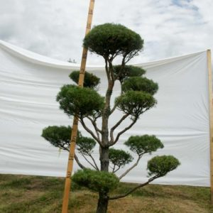 Scotch Pine Topiary Tree #89