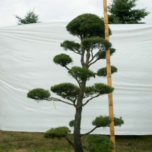 Scotch Pine Topiary Tree #9