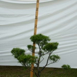 White Pine Topiary Tree #166