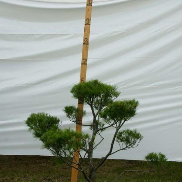 White Pine Topiary Tree #166