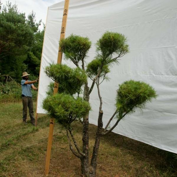 White Pine Topiary Tree #221
