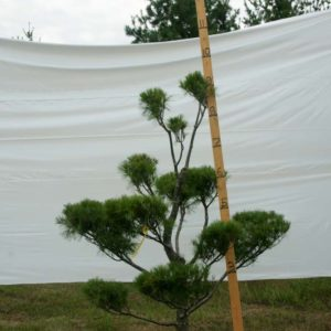 White Pine Topiary Tree #30