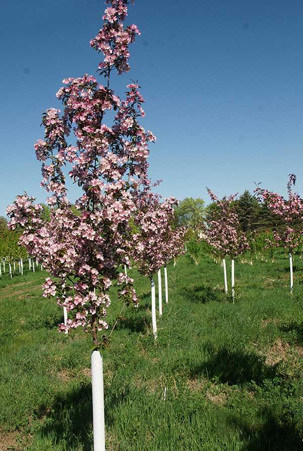 Oak Birch Maple Serviceberry Shade Tree Nursery Stock In