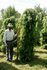 Spruce Fir Pine Eastern Red Cedar Evergreen Tree Nursery Stock