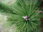 A close up picture of a Austrian Pine