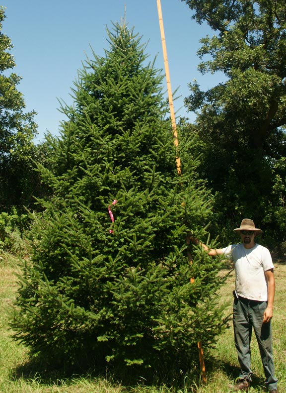 Spruce Fir Pine Eastern Red Cedar Evergreen Tree
