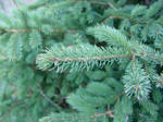 A close up picture of a Black Hills Spruce