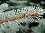 A close up picture of a Colorado Blue Spruce