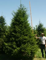 15' Norway Spruce