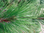 A close up picture of a Norway Pine