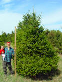 10' Norway Spruce