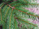 A close up picture of a Norway Spruce