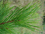A close up picture of a Swiss Stone Pine