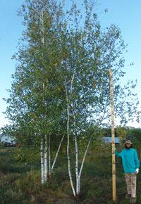 Oak Birch Maple Serviceberry Shade Tree Nursery