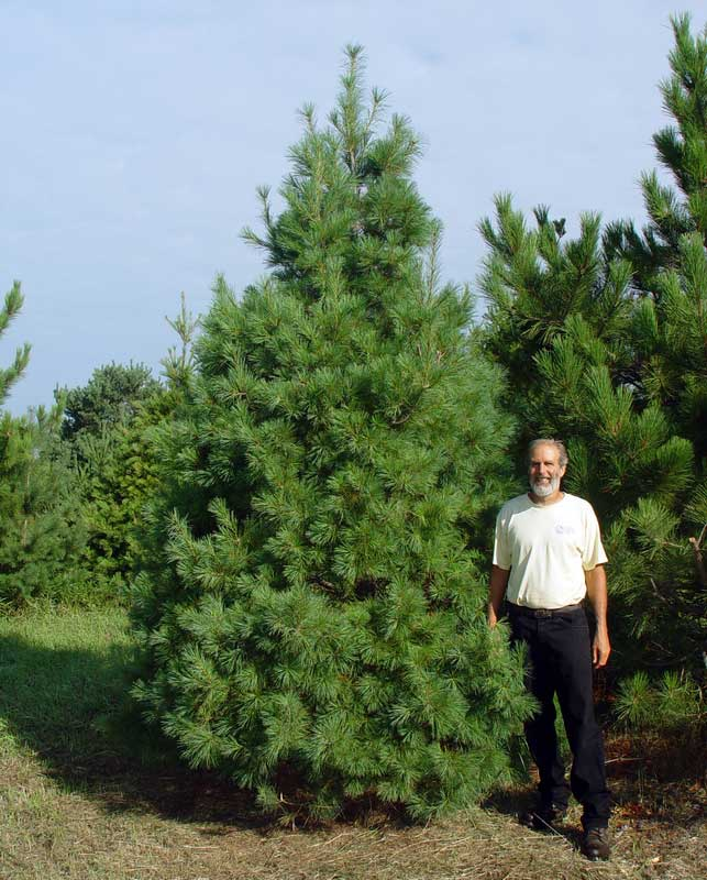 how to grow eastern white pine
