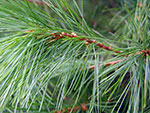 A close up picture of a White Pine