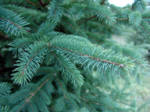 A close up picture of a White Spruce