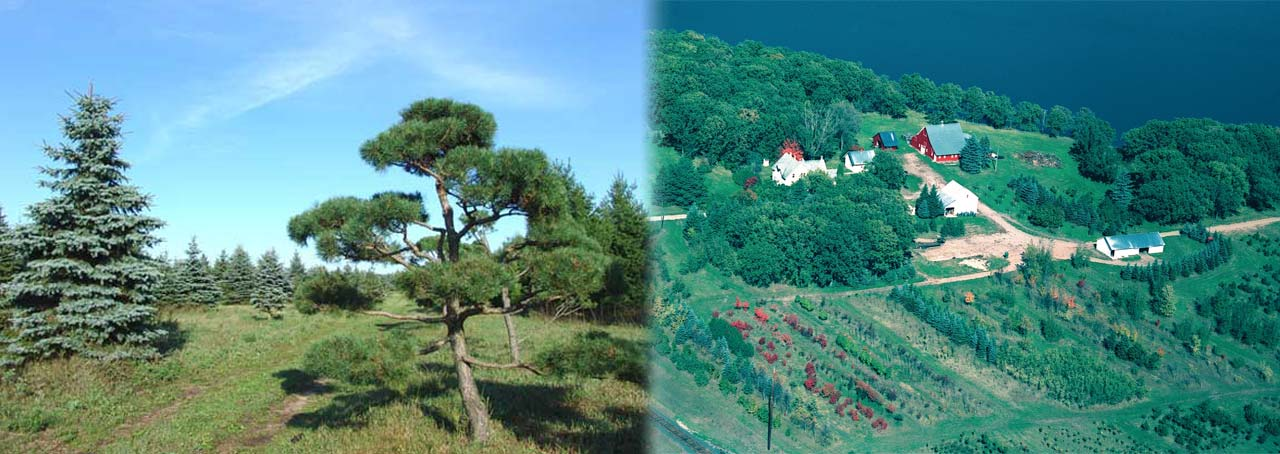 Colorado Blue Spruce, Scotch Pine Topiary Trees and a aerial of the farm