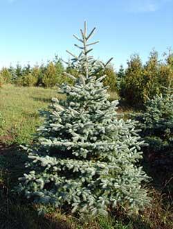 Plants Beautiful Nursery Minnesota Live Topiary Trees