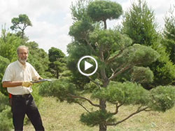 Topiary Tree How-to Pruning Video